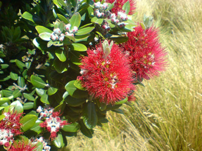 Flowering pohutakawas are a sure sign of New Zealand summer