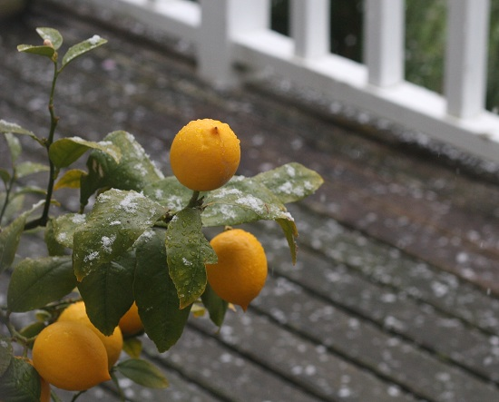 Snow on the lemon tree